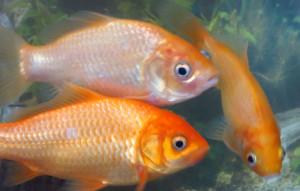 ⑦高周波な金魚buraogu
